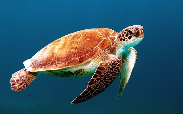 Big Colorful Turtle HD Wallpaper Free Download