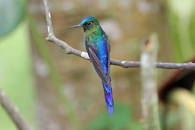 colibries de america