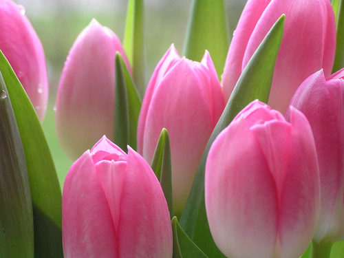 Flowers For Flower Lovers.: Pink Tulips Flowers