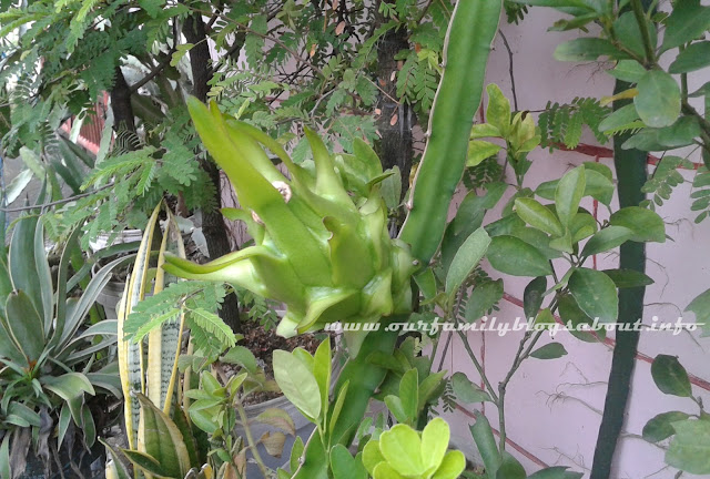 dragon fruit, gardening, home, home and living, how to grow dragon fruit in pots, pitaya, tips on growing dragon fruit,