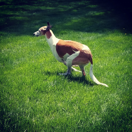 image of Dudley the Greyhound hinging himself to start a big run in the backyard