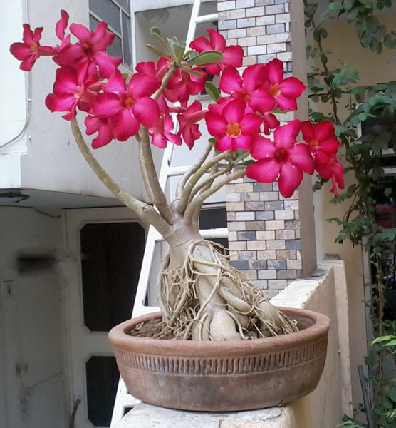 Wholesale Manufacturing Bonsai Adenium Plants | Bonsai