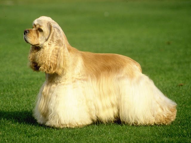 American Cocker Spaniel dog