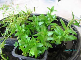 cây rau thơm phát triển tương đối chậm