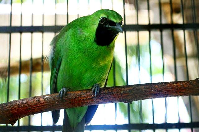 Ramuan Tradisional Merawat Burung Cucak Ijo