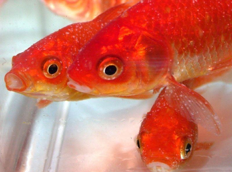 Ciri Ciri Ikan Sakit Atau Stress Baca Ini