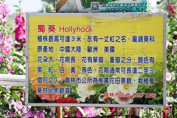 彰化員林|2019愛在員林蜀葵季|一丈紅|蜀葵市集|免費入園賞花