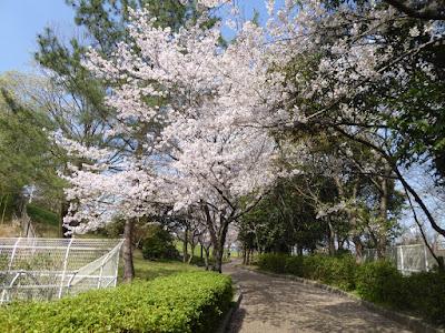 春爛漫・寝屋川公園の桜・お花見ウォーキング