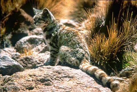 Andean Montain Cat