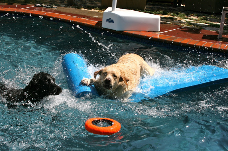 Labrador pool fun