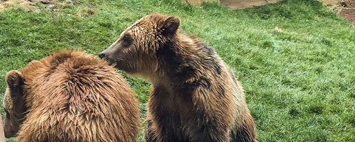 Grizzly Bears at Vilas Zoo