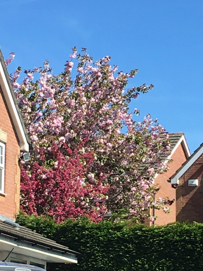 My-shopping-trip-to-Lidl-cherry-blossom-pink-and-dark-pink-against-the-blue-sky