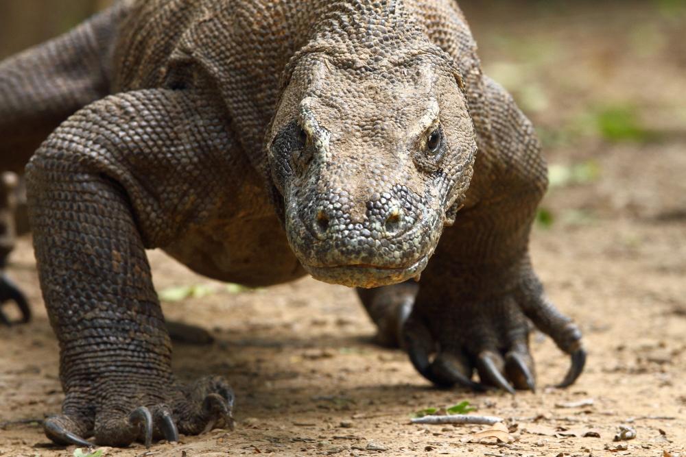 Komodo Dragon: Worldwide Birding Adventures: Komodo And Its