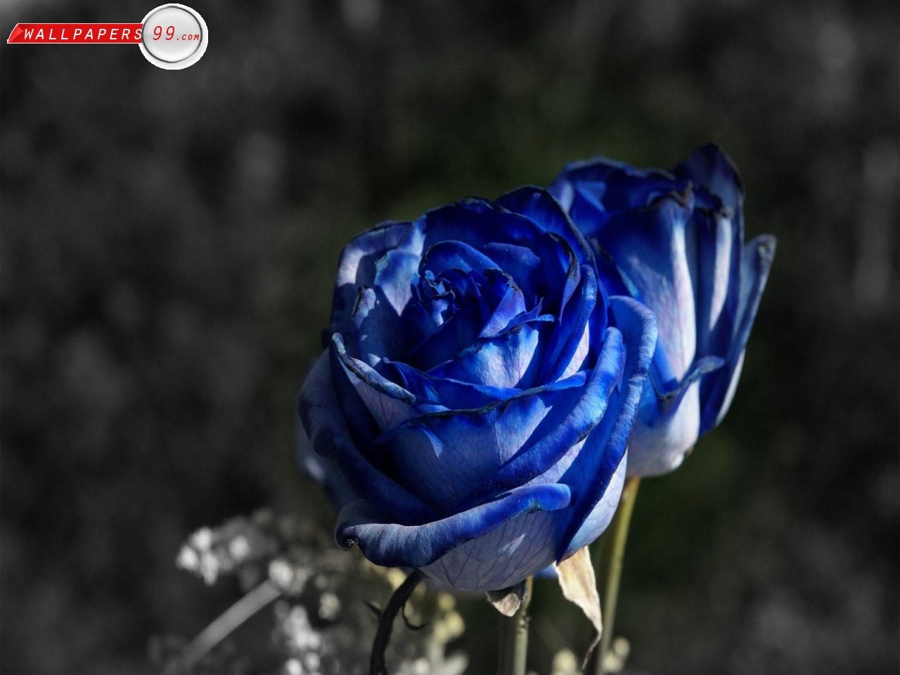 Rose wallpaper blue rose hd wallpaper free download - Blue rose hd wallpaper download ...