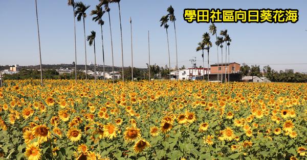 台中烏日|學田社區向日葵花海|烏日區農會100週年慶|高鐵烏日站旁