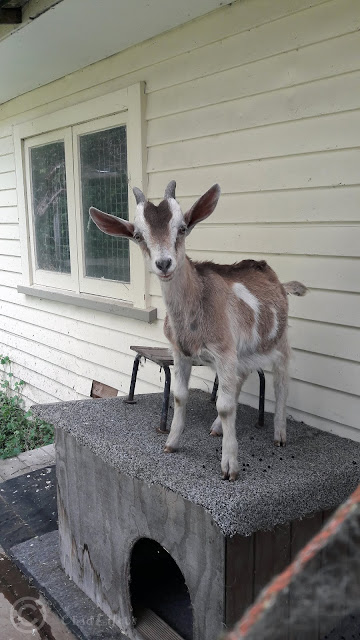 Baby Goat standing on a dog kennel