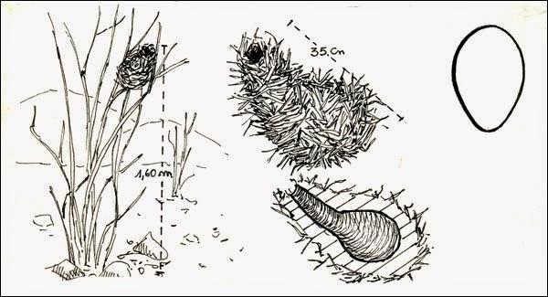 nidos de canasteros
