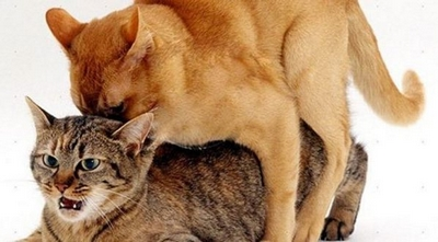 Saiba porque os gatos gritam durante o acasalamento