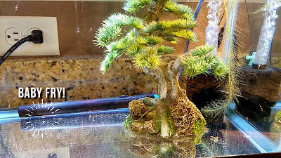 Sponge filter for raising baby honey gourami fry