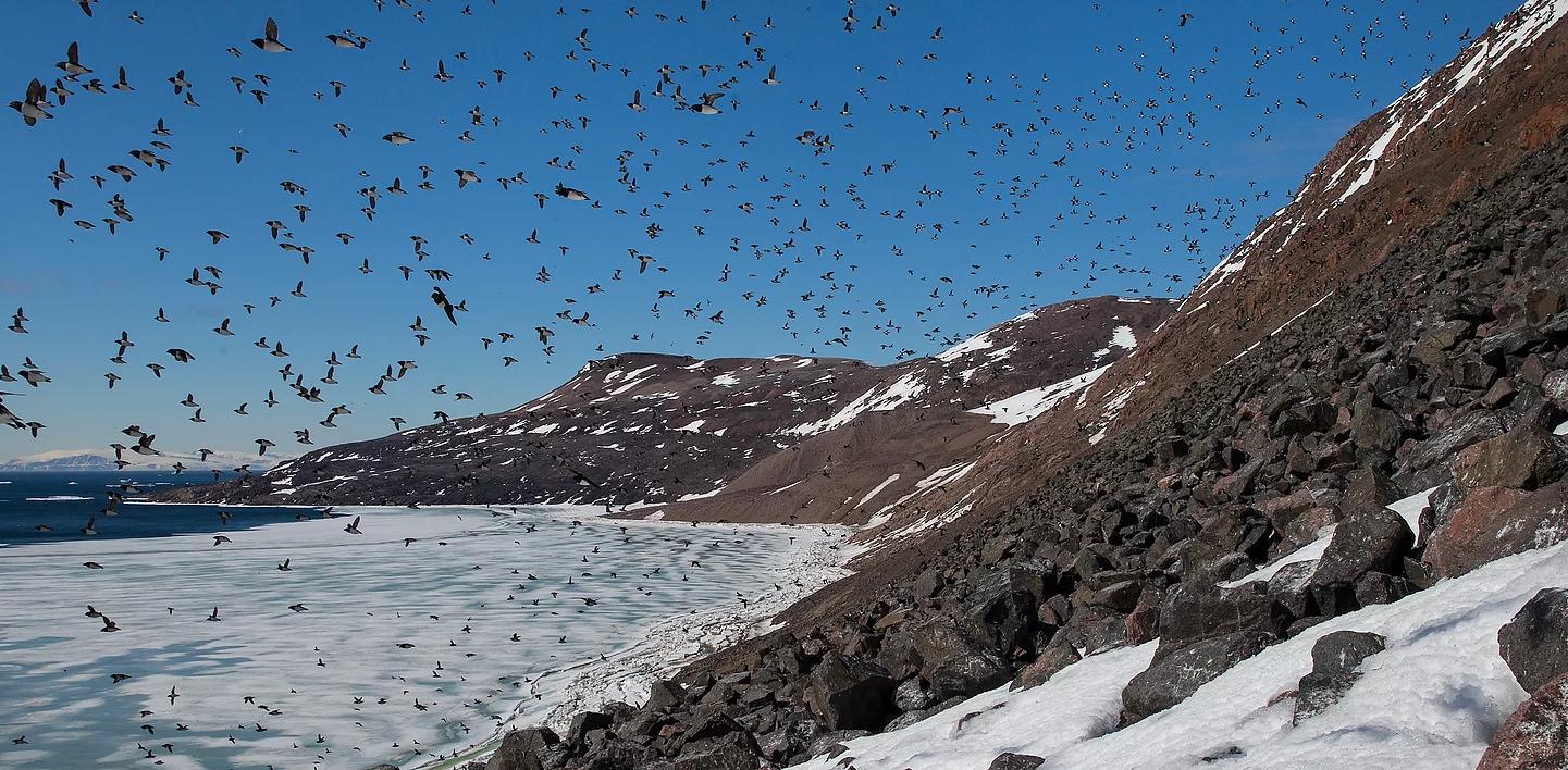 Dovekies In Flight Birds Of Newfoundland