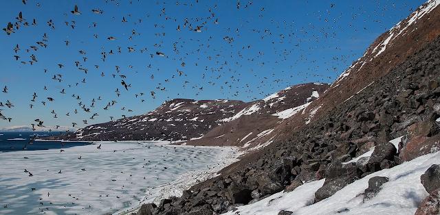 Dovekies in flight, birds of newfoundland