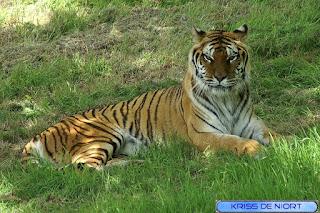 Tigre du Bengale - Panthera tigris tigris