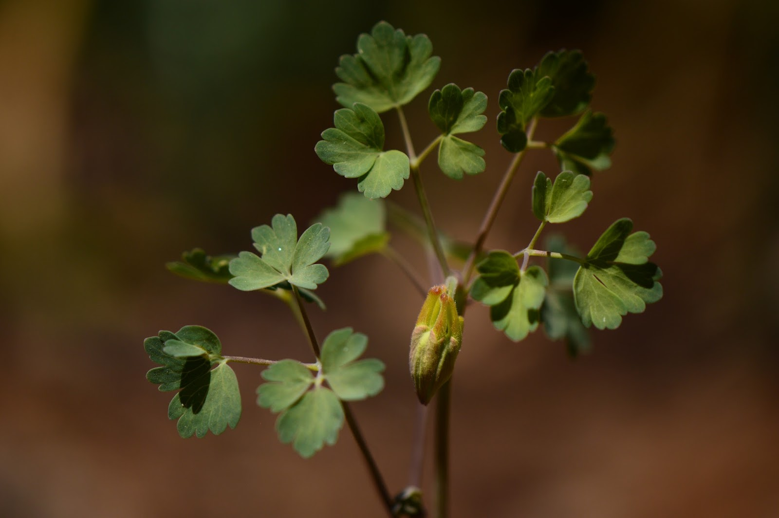 Aquilegia desertorum leaves with flower bud