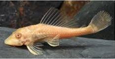 Ikan Sapu Sapu Albino