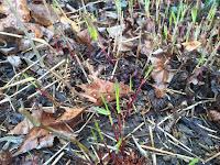 hakonechloa forest grass emerge