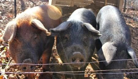 Tips for the Novice Pig Farmer, shared by The Flip Flop Barnyard at The Clever Chicks Blog Hop