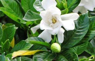 Jual tanaman bunga kaca piring | Tanaman bungan untuk pagar