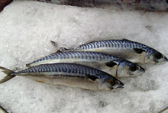 Mackerel Ice Fish Information Highlight