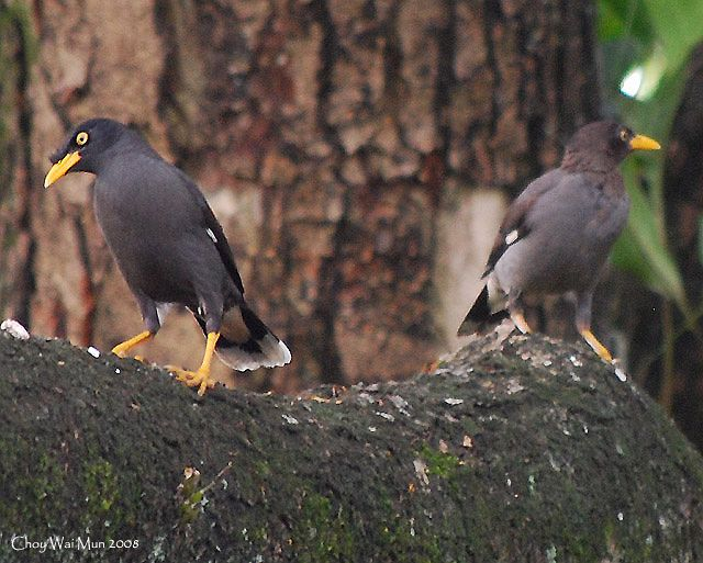 Burung Cara Merawat Burung Memelihara Burung Seputar Jalak Kerbau