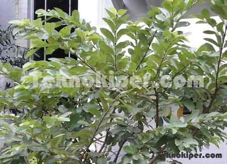 Manfaat daun jambu biji untuk kencantikan