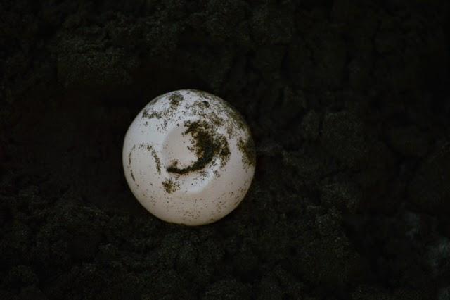 Burying turtle eggs in El Salvador