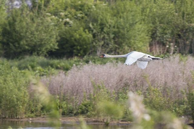 Flat White Skies - Mute Swan in flight