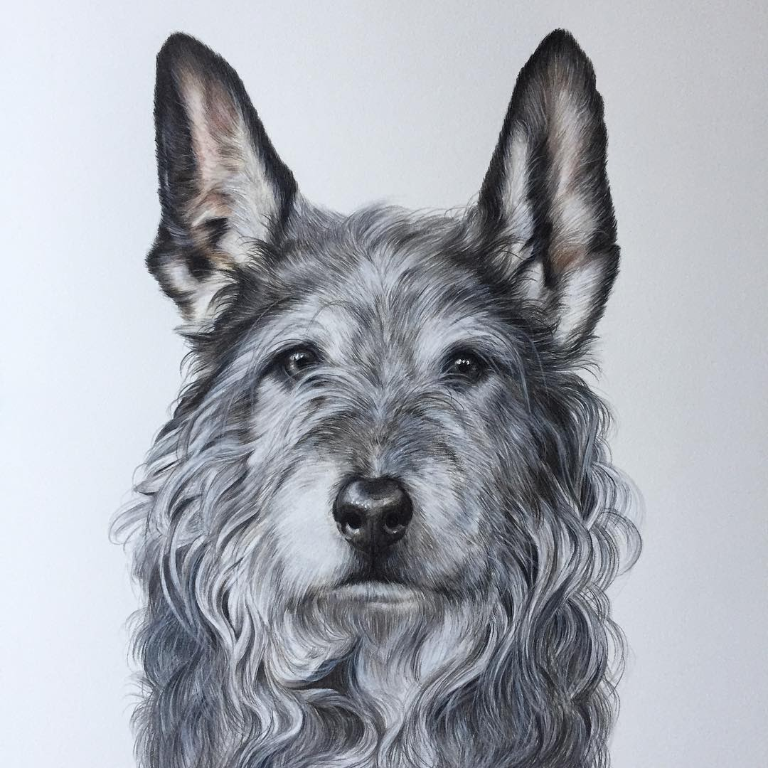 10-Scottish-Terrier-Zoe-Fitchet-Pet-Portraits-Cats-and-Dogs-Drawings-www-designstack-co