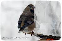 pticy-na-kormushke-dubonos-magiya-biologii