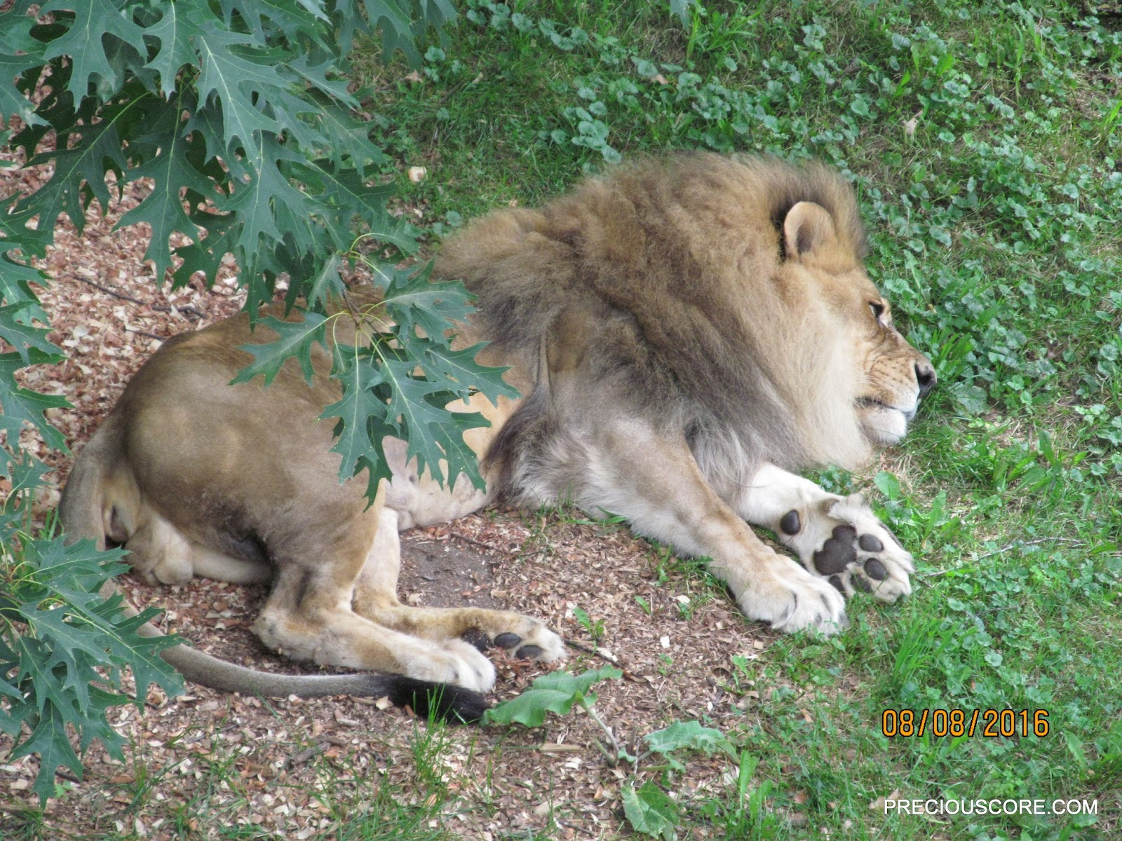 lion at como zoo