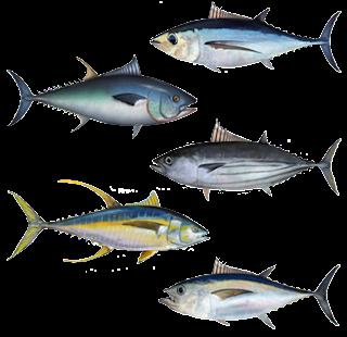 Makan Ikan Laut Cepat Tambah Tinggi Badan