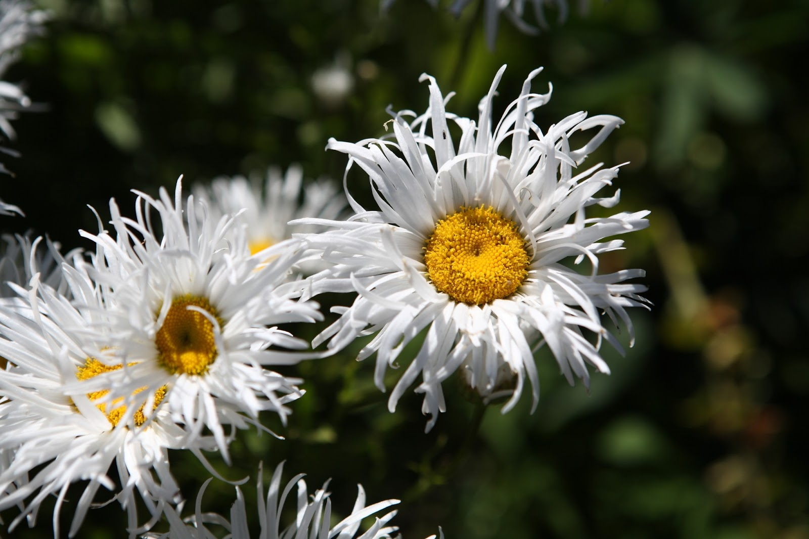 Tasmania Blume