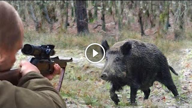 Le meilleur vidéo de chasse aux sangliers !