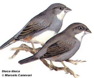 Common Diuca Finch