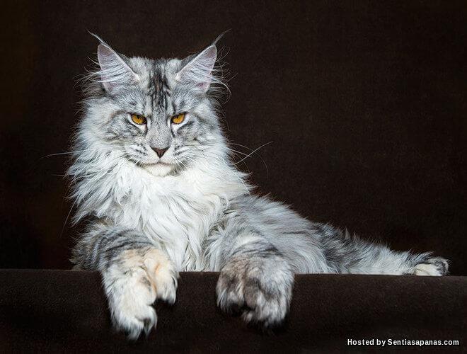 Maine Coon, Baka Kucing Terbesar Di Dunia!