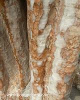 Lagerstroemia floribunda