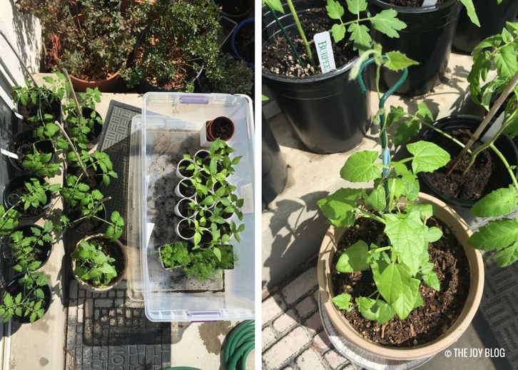 Tomato, pepper, and black-eyed susan vine seedlings on a patio // www.thejoyblog.net
