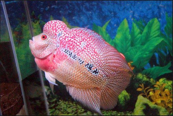 Ikan Hias Termahal Louhan