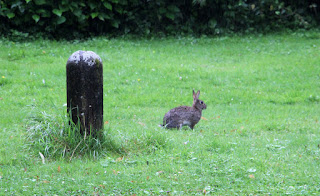More rabbits on the lawn