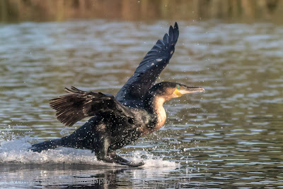 White-breasted cormorant - Diep River / Woodbridge Island - Copyright Vernon Chalmers