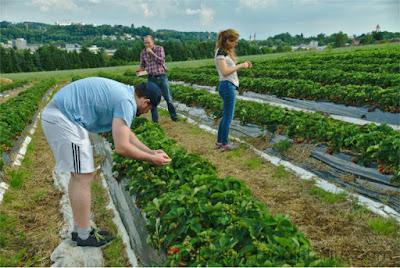 colheita de morangos